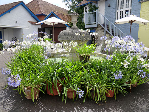 Agapanthus by Yapp Fountain