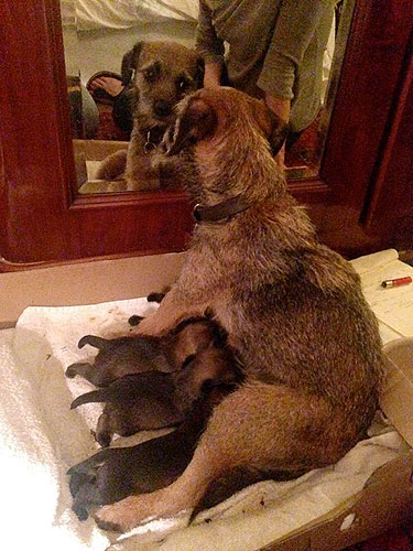 Border Terrier mum Jezebel