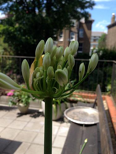 agapanthus flowering