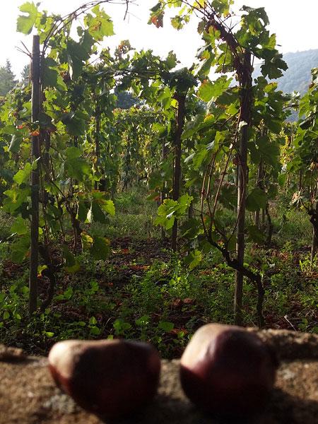 conkers & vines