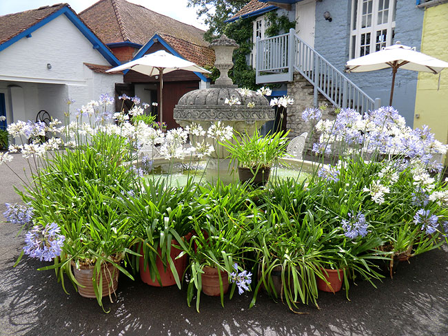 Agapanthus by the Fountain