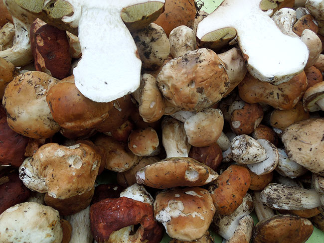 Ceps - mushrooms