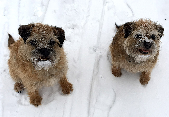 The Yapp terriers are hoping for long walks and a white Christmas!