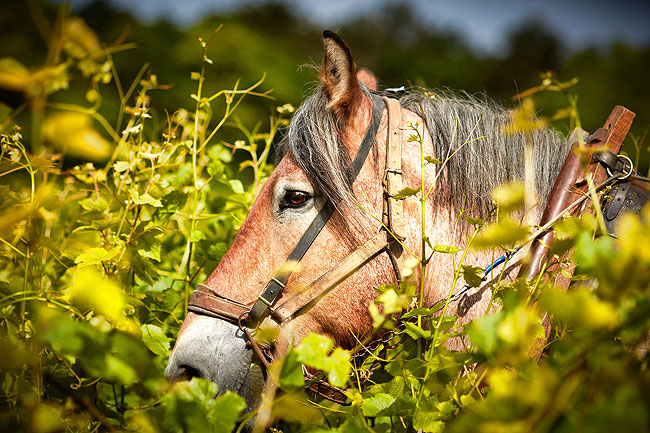 Ploughing horse